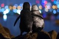 This image of two little penguins in St Kilda, Melbourne, has won a global award.