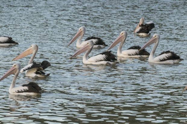 Pelicans in the Murray River near Junction Island, Wentworth, NSW.