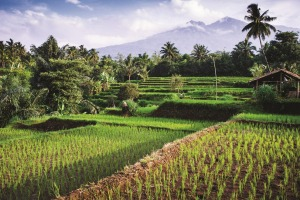 Looking through the rice fields to Mt Rinjani in Lombok, Indonesia.