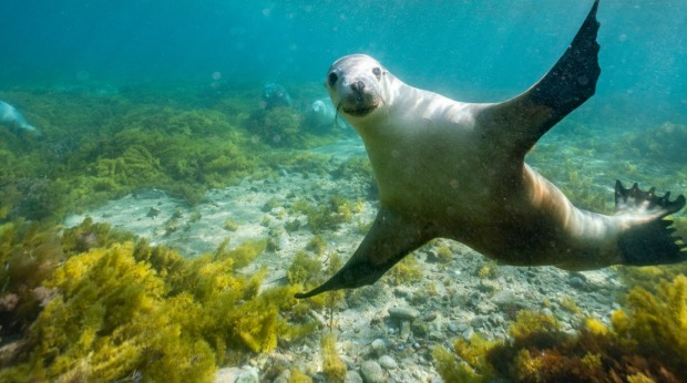 Meet the seals of Port Lincoln with a flight from Sydney, Melbourne or Brisbane.