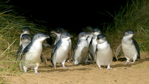 Hundreds of thousands of people tuned in to watch the famous Phillip Island penguin parade via streaming during the ...