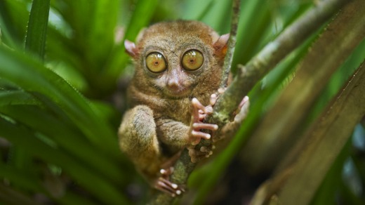 A tarsier on Bohol, the Philippines. Coby Edgar dreams of returning to the rainforests here.