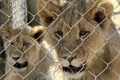 The new policy will prohibit the keeping and breeding of lions in captivity and the use of any captive lion parts for ...