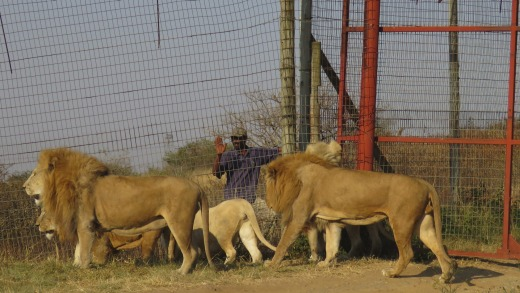 Lions are kept in unhealthy and unethical conditions, conservationists say, and bred to ultimately be killed and their ...