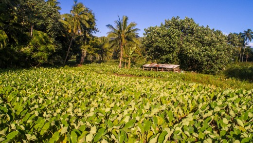 Many locals returned to their family plantations to grow staple crops, due to the collapse of the tourism industry.