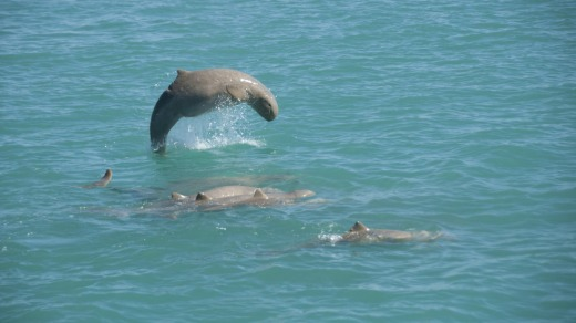 """Close relatives of the Irrawaddy dolphin, this population of rare """"snubbies"""", as they're affectionately known, has ..."""