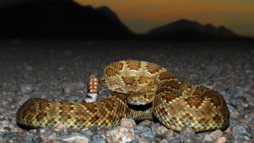 The Mojave rattlesnake is one of the world's deadliest snakes.