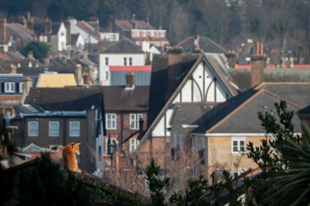 """'Red Fox': Tapas Biswas  """"A red fox enjoying the early morning winter sun, overlooking the rooftops in London, UK."""""""