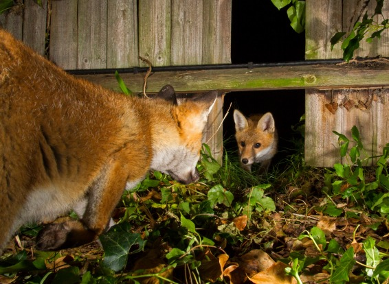 """'Family Outing': Thomas Cawdron  """"A family of foxes were regularly passing through my garden using a gap in my fence as ..."""