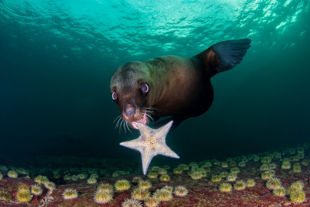 """'My New Toy': Celia Kujala  """"Play is very important in the development of young Steller sea lions and they love playing ..."""