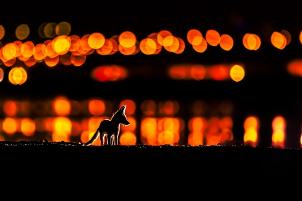 """'The Fox of Arabia': Mohammad Murad  """"Arabian Red Foxes usually breed in the desert far away from humans. This is a ..."""