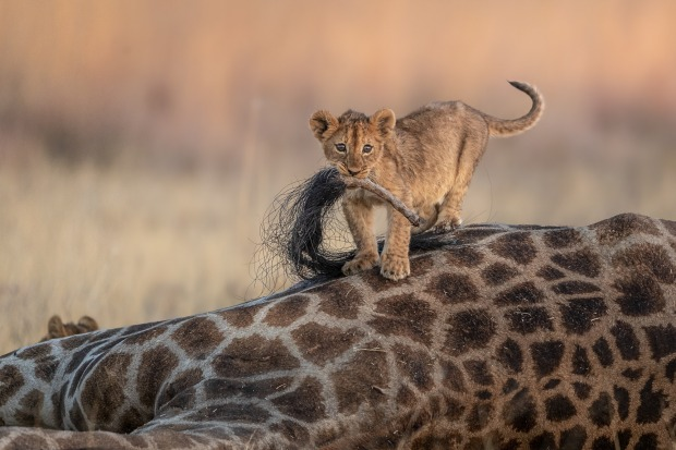 """'A Predator's Playground': Charl Stols  """"As bizarre as it might seem to us, jumping up and down on a giraffe carcass and ..."""