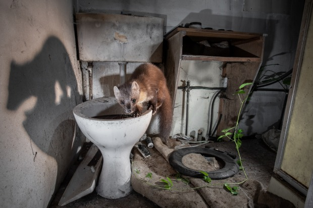 """'Pine Marten in an Abandoned Cottage': James Roddie  """"A pine marten inside an abandoned cottage in the ..."""