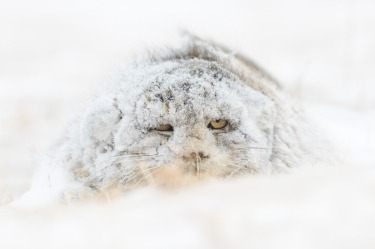 """'Snow Monster': Amit Eshel  """"On February 2020 I was in the steppe zone in eastern Mongolia in search of the elusive ..."""