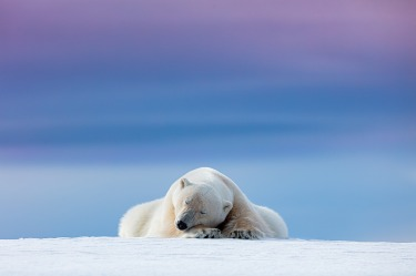 """'Sleepy Polar Bear': Dennis Stogsdill  """"We were watching this rather photogenic polar bear for a while in Svalbard, ..."""