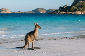 The kangaroos found on the island, located off the tip of the Fleurieu Peninsula, are a subspecies of the western grey ...