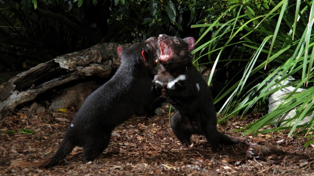 Feeding time for Tasmanian devils is an unmissable event.