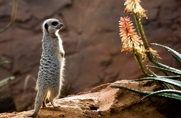 Meerkats at Taronga Zoo are given treats to find while being filmed for Taronga TV, a live stream set up so the public ...