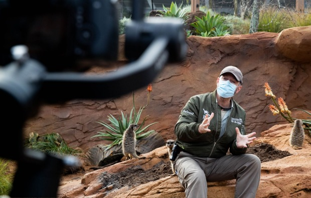Meerkats at Taronga Zoo are given treats to find while being filmed with Taronga TV host Hayden Turner, for a live ...