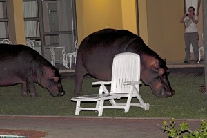 D32GG8 Hippopotamus grazing at night in garden in St. Lucia Alamy image for Traveller. Single use only. Fee ...