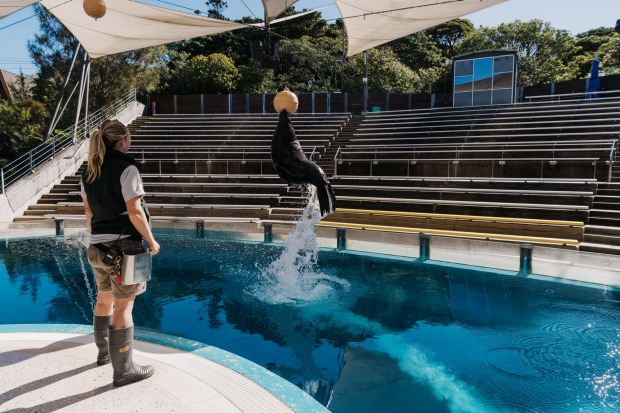 Marine mammal keeper Adrienne Van Gogh with Bondi, a Long Nose Fur Seal. Whilst Greater Sydney remains in lockdown, ...
