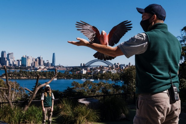 Free Flight bird keepers, Jaqueline King and Brendan Host with Jasper the galah. Whilst Greater Sydney remains in ...