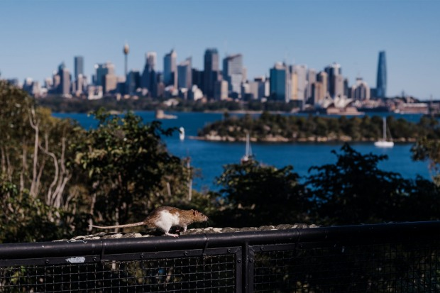 A rat used as part of the Free Flight bird shows. Whilst Greater Sydney remains in lockdown, Taronga Zoo continue to ...