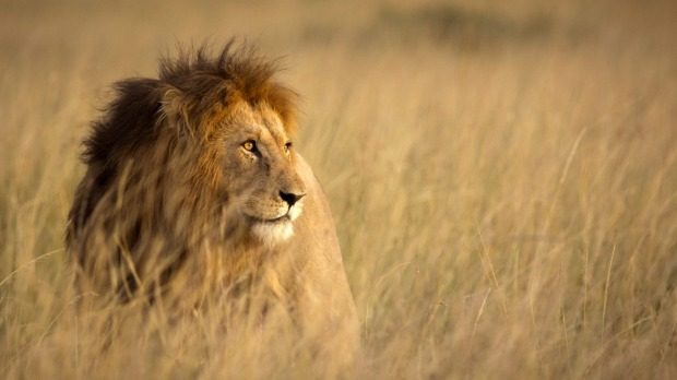 A lion at Masai Mara, Kenya: an animal in the wild is a magnificent thing. Don't mess with it until you're absolutely ...