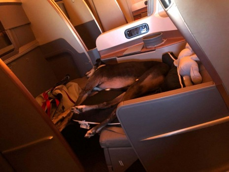 Lewis the greyhound from Melbourne enjoyed Singapore Airlines' business class with his owner Mary Meister on a long-haul ...