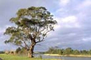 A red river gum a few kilometres from Marlo on the banks of the Snowy River