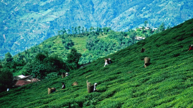 9. DARJEELING, INDIA. Here you're surrounded by the stuff: tea in the cafes, tea in the bazaars and a deep-green leafy profusion of tea cascading down the hillsides.