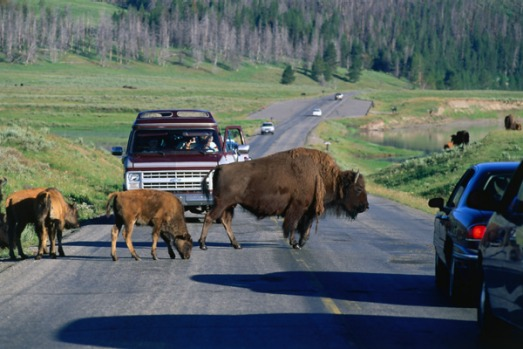Wild times at Yellowstone, US. A bison jam. It's encounters like this that make the drive from Jackson Hole to ...