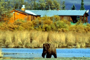 Creature comforts ... Brooks Lodge in Katmai National Park, where Timothy Treadwell lived and died among bears.
