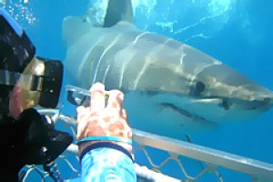 Natural selection ... in the shark cage off Port Lincoln.