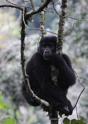 Something wild ...  a gorilla in Uganda's Bwindi National Park..
