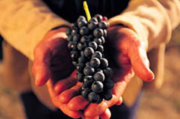 Seed assets: Grapes are harvested in the Barossa Valley.