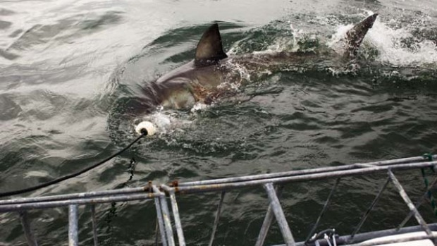 A great white swims for a dead tuna bait in the waters of Gansbaai.