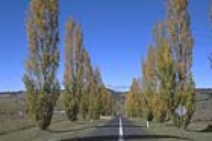 Autumn poplars on the road from Oberon to Jenolan Caves