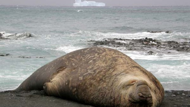A seal lazes by the water on Macquarie Island.
