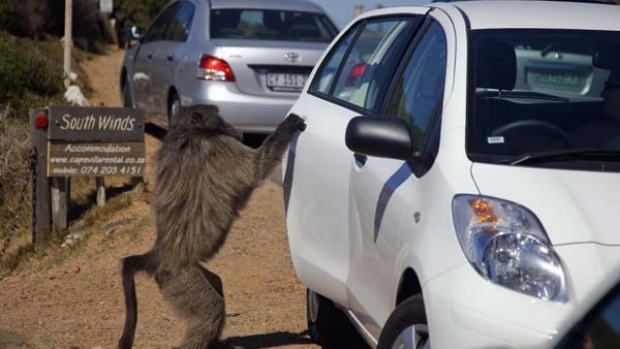 A baboon opens the door of a car while he is searching for food to steal.