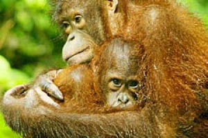 The Semenggoh Orang-utan Wildlife Centre is home to 24 semi-wild orang-utans.