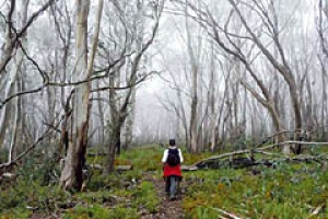 Scenic routes ... fog shrouds the Mount Buller west ridge walk.