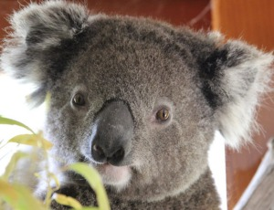 Rescued koala: Have you seen a koala in the ACT?