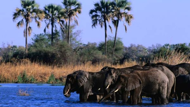 Delta shuffle ... an elephant herd takes a drink in the Okavango Delta.