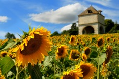 France, sunflowers
